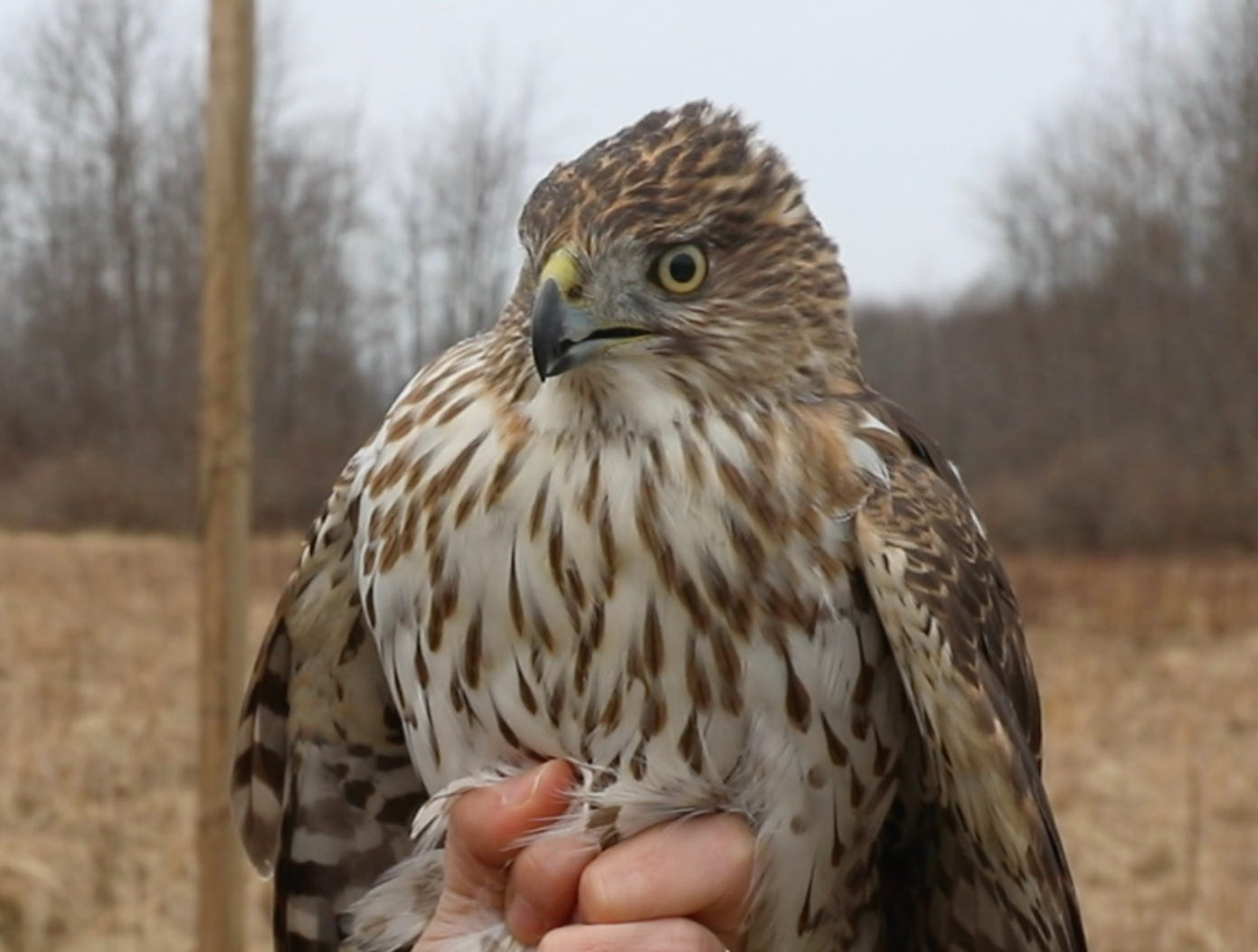 The markings of a juvenile Cooper's Hawk and eye color are very different than the adult.