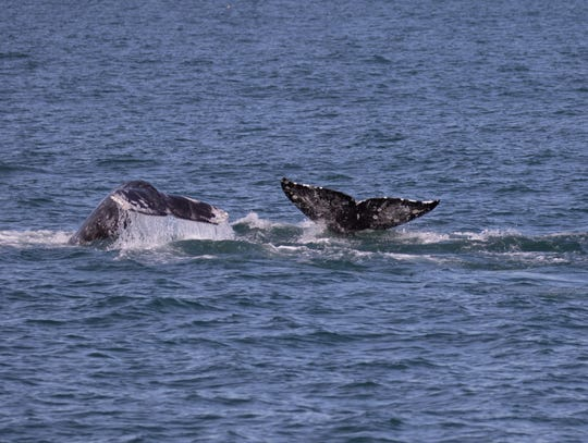 Gray whales spotted off the coast from an Island Packers boat.