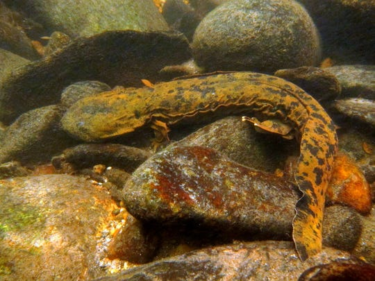 Hellbender salamanders are listed as species of special concern in North Carolina. It is illegal to take, possess, transport or sell a hellbender or to attempt to do so.