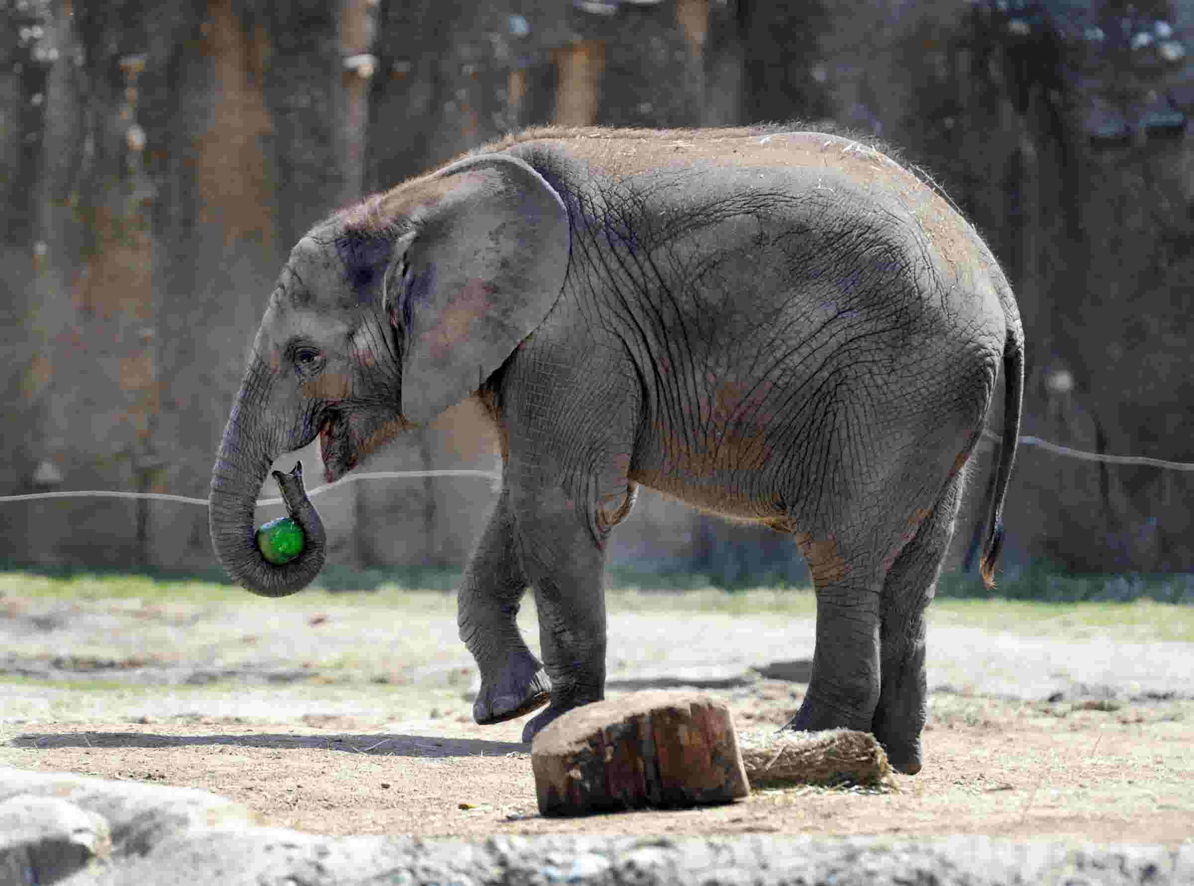 Christmas At The Zoo Indianapolis 2019.Indianapolis Zoo Elephant Deaths Worry Experts