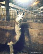 Earl the llama is recovering well in Michigan after being shot in Louisiana.