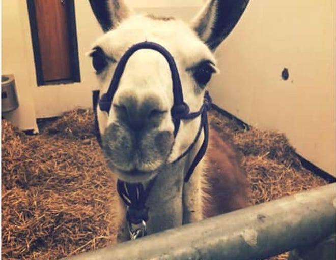 Earl the llama