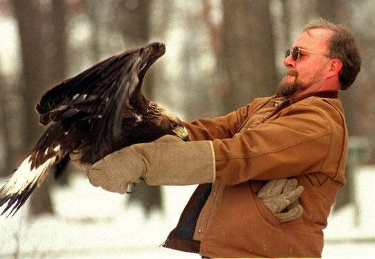 MSU veterinarian Jim Sikarskie prepares to release a golden eagle which was nursed back to health after being shot. Wildlife veterinarians used Crazy glue, wood and feathers from an other eagle to give her another chance to fly.