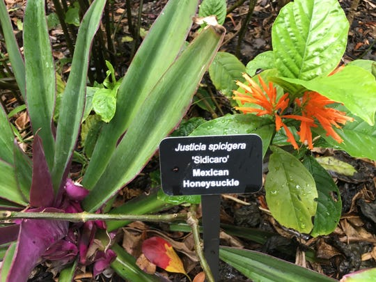 Justicia spicigera at the Naples Zoo.