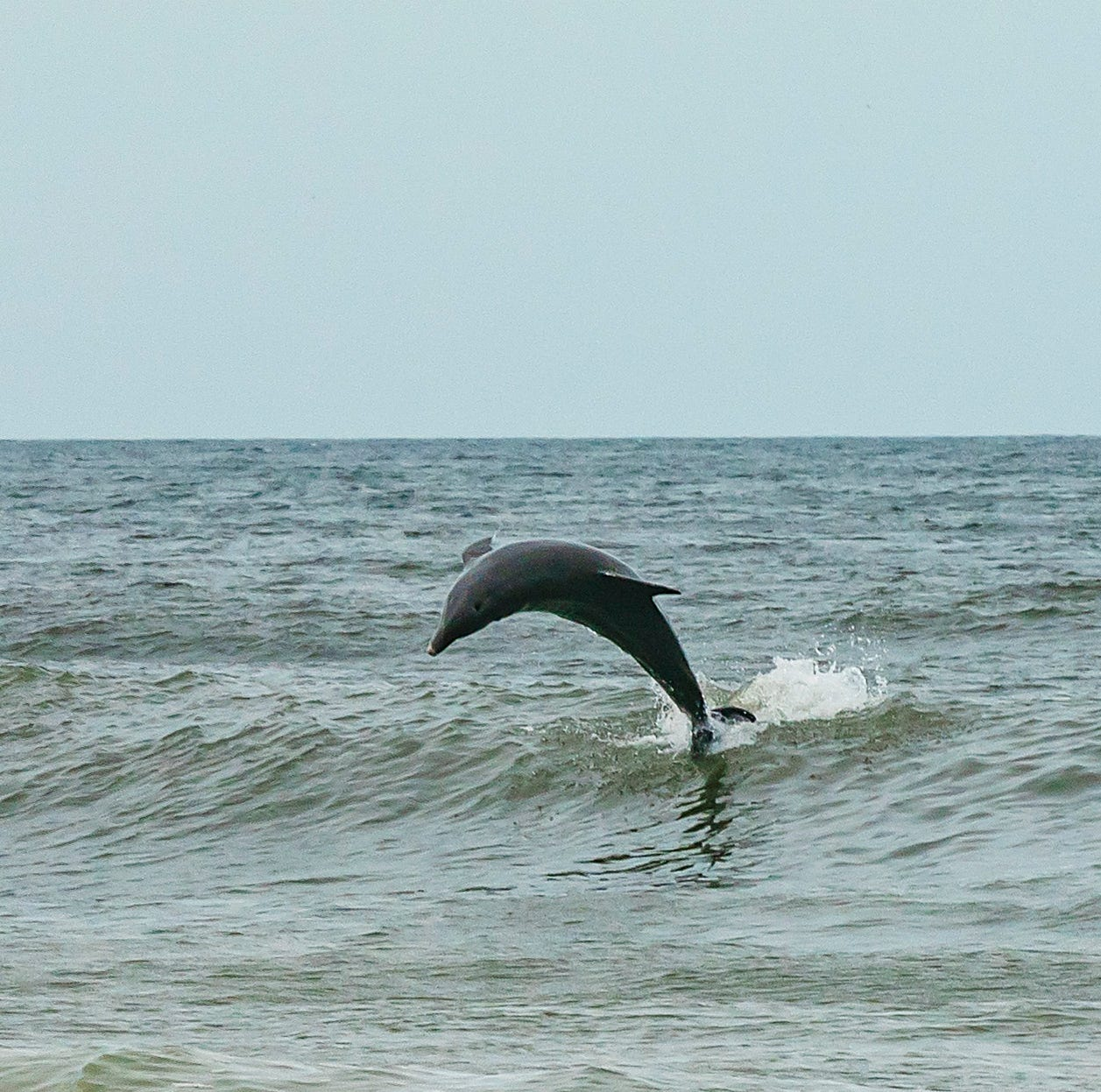Researchers find blue-green algae toxin in dolphins that also have brain disease