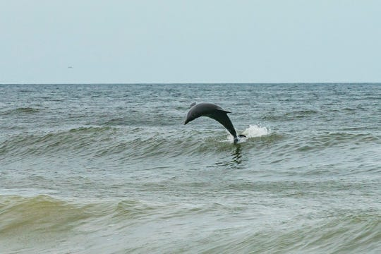 A dolphin jumps over waves created by Hurricane Michael near the shore next to Naples Pier last fall.