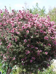The New Zealand tea tree, Leptospermum scoparium, was used in the South Pacific as a scurvy remedy.