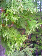 The evergreen arborvitae of our northern forests was first used by the Iroquois to treat winter scurvy.