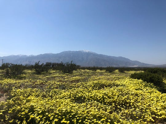 You can find fields of yellow wildflowers near the intersection of Corkill Road and Main Street in Desert Hot Springs.