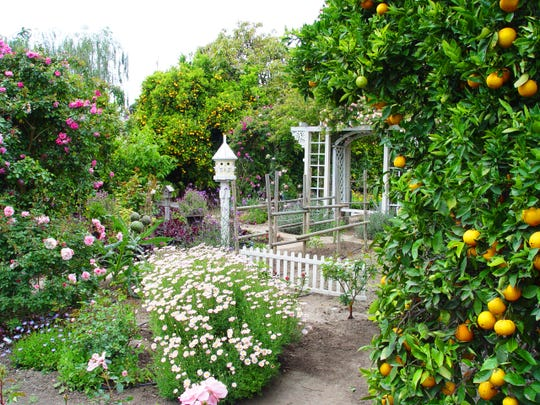 The genesis of early citrus cultivation in California were orange trees from Spain in the mission orchards.