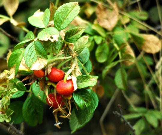 Not until World War II were rose hips tested as a cure for children with scurvy symptoms in Britain due to Nazi blockades, proving ounce for ounce, they contain more Vitamin C than citrus.
