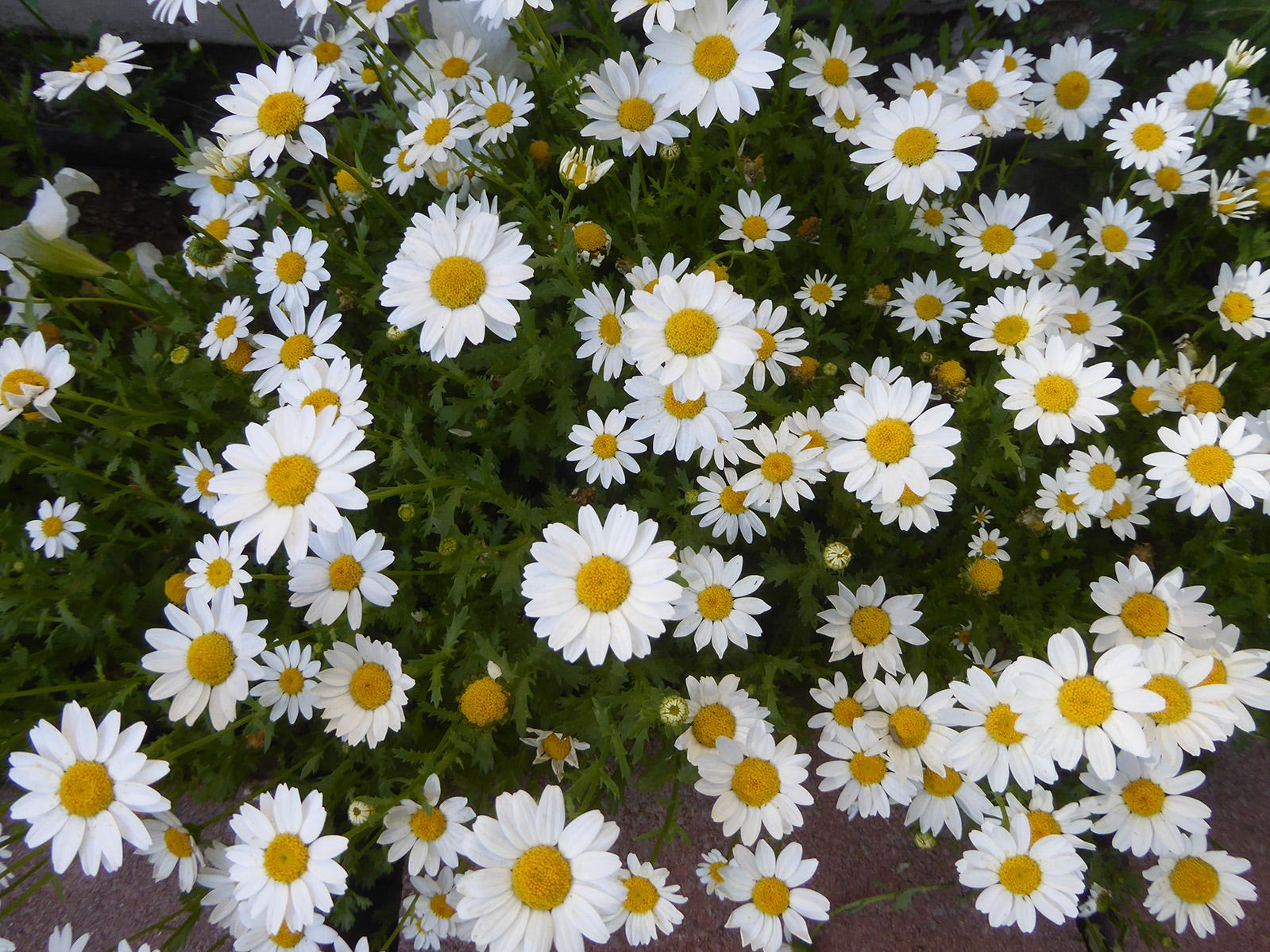 Daisies in my Chandler backyard.