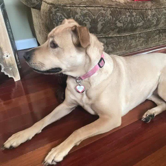 Lily the lost lab located after a week on the lam, reunited with family