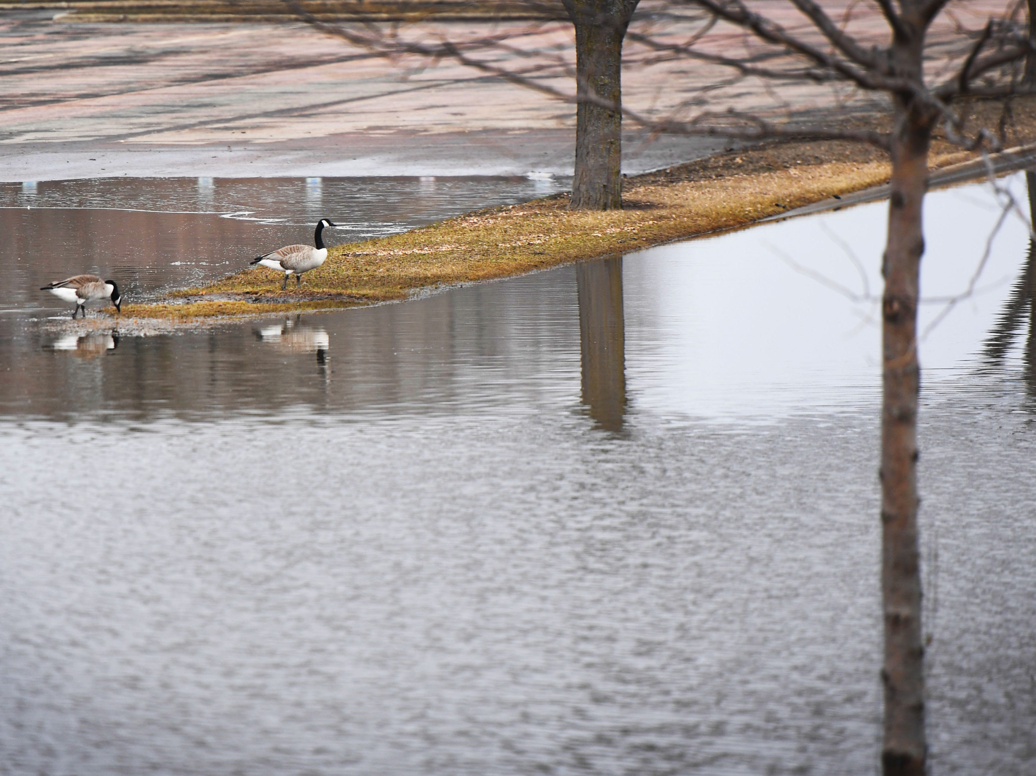 Geese swim in the parking lot of Spencer Park because of flooding Tuesday, March 26, in Sioux Falls.