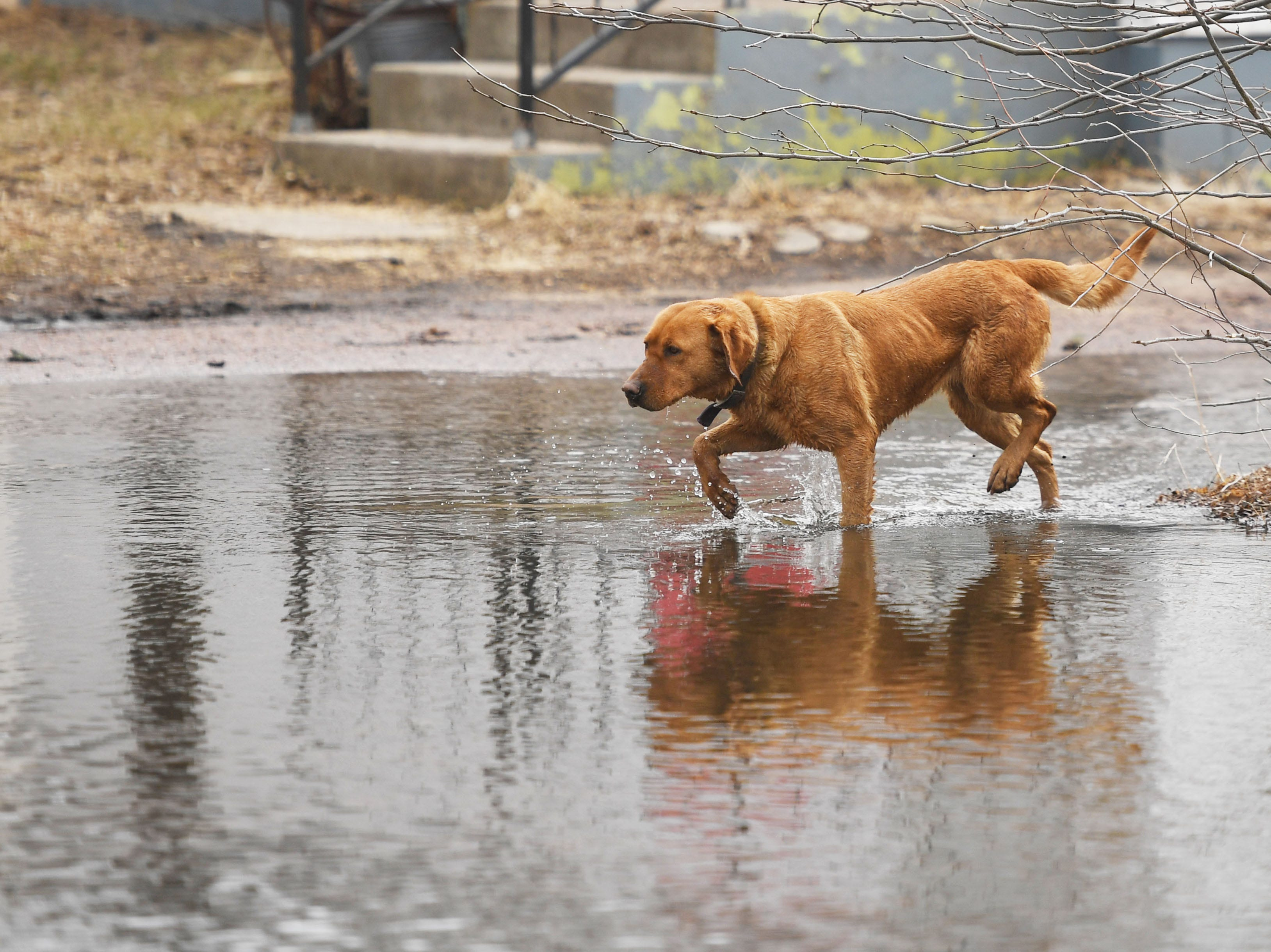 A dog tiptoes through flood waters in Renner Tuesday, March 26, in Renner, S.D. The latest river forecasts have the Big Sioux at Dell Rapids staying at 'major' flood level until early next week.
