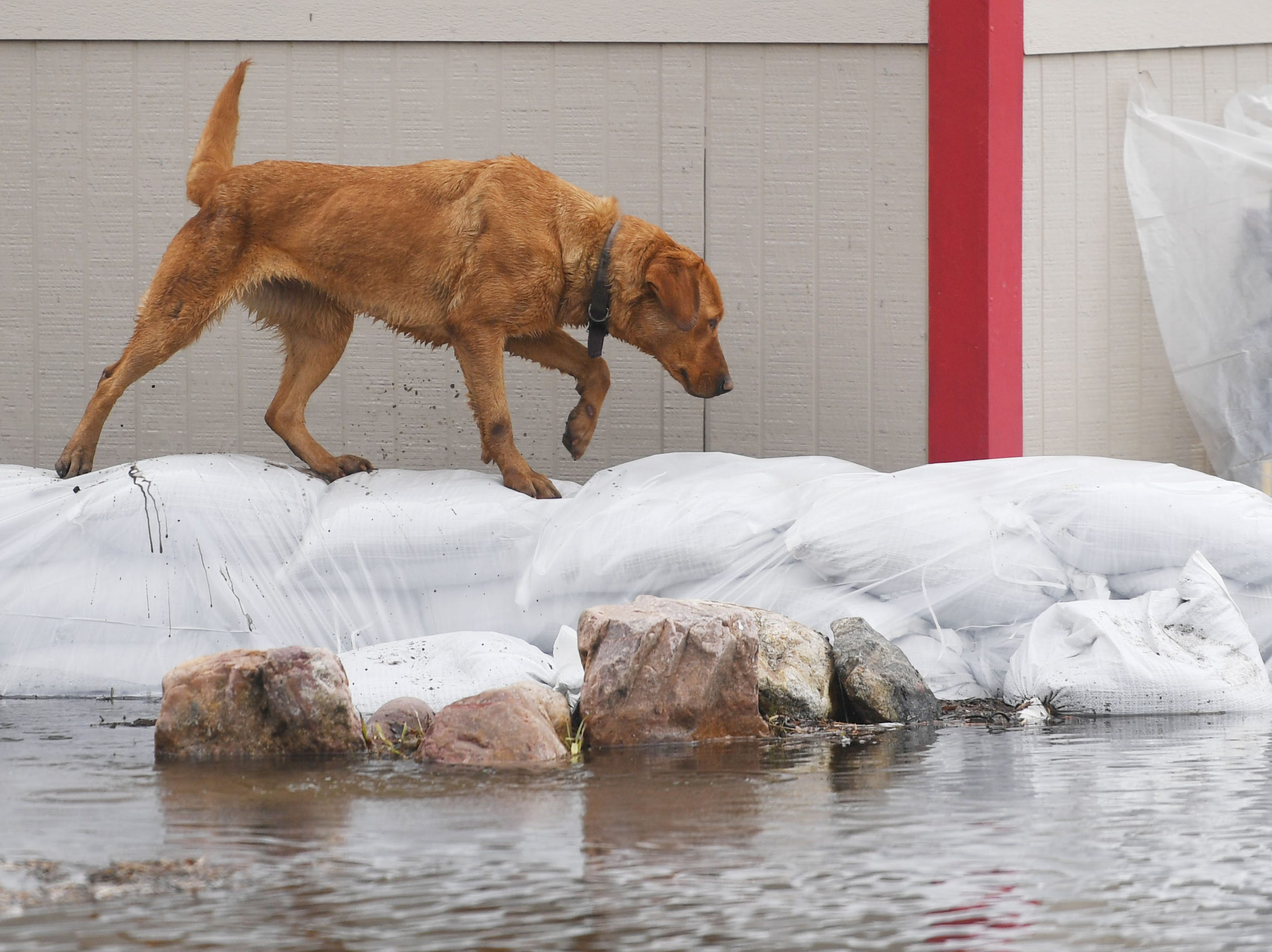 A dog uses sandbags to walk across the flood waters in Renner Tuesday, March 26, in Renner, S.D. The latest river forecasts have the Big Sioux at Dell Rapids staying at 'major' flood level until early next week.