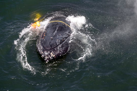 This undated file photo provided by the National Oceanic and Atmospheric Administration shows a humpback whale entangled in fishing line, ropes, buoys and anchors in the Pacific Ocean off Crescent City. California crab fisheries will close for the season in April 2019 when whales are feeding off the state's coast as part of an effort to keep Dungeness crab fishery gear from killing protected whales, officials announced.