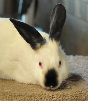 Hoppy is a male rabbit that is looking for his new home. You can adopt Hoppy at the Wichita Falls Animal Center.