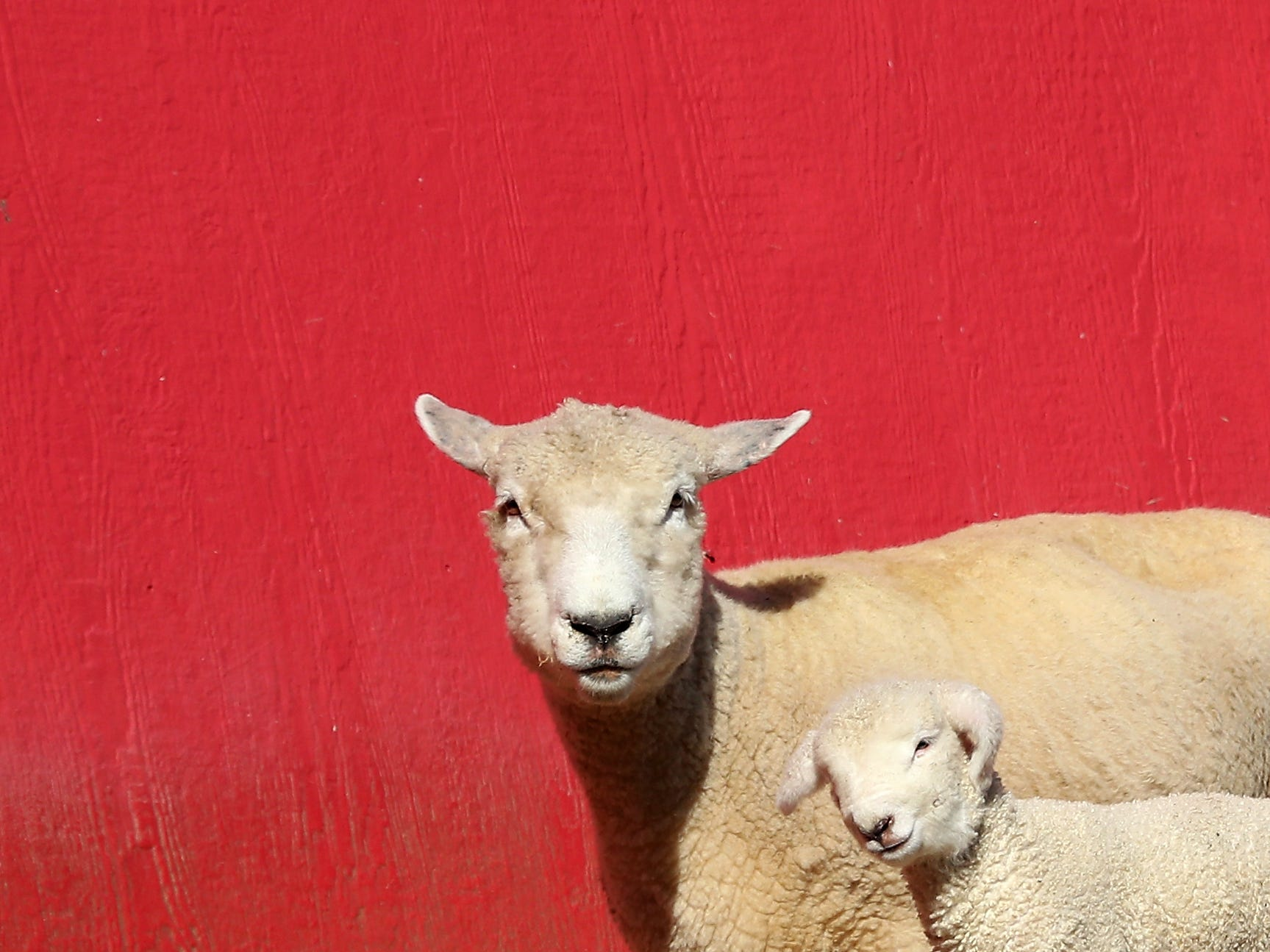 A lamb and its mother wander past the bright red barn at Scandia Creek Farm in Poulsbo on March 19, 2019.