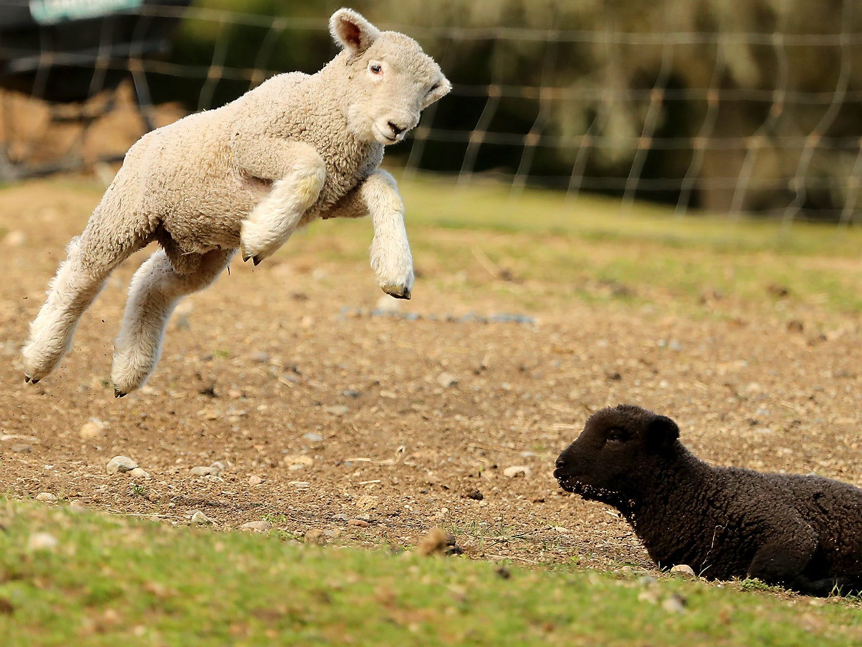 Lambs frolic in their pasture at Scandia Creek Farm in Poulsbo on March 22, 2019.