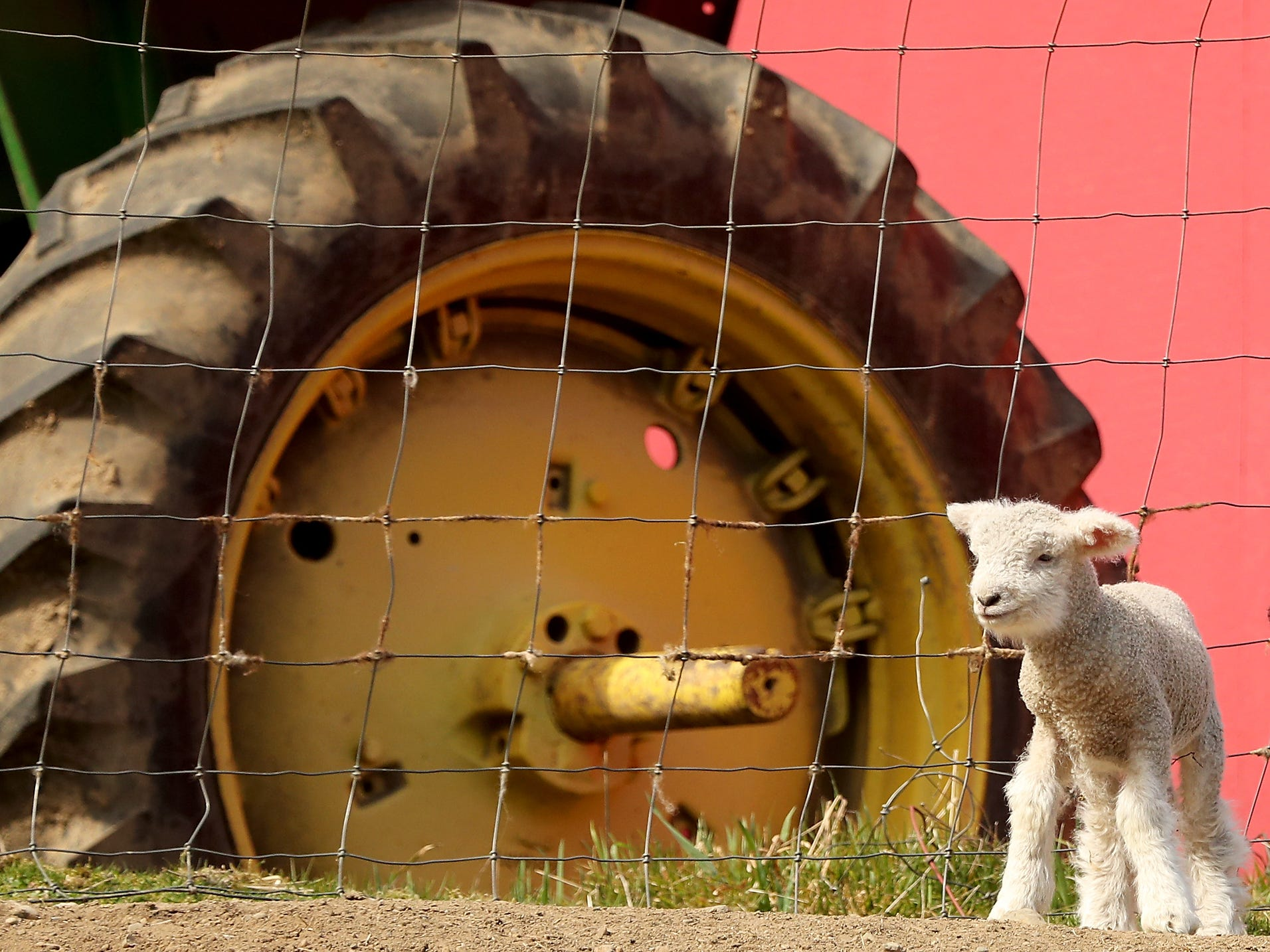A lamb soaks up some sunshine in front of a tractor wheel  at Scandia Creek Farm in Poulsbo on March 22, 2019.