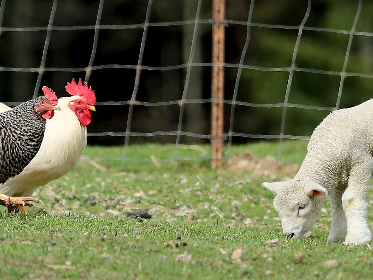 A small lamb grazes near a pair of chickens at Scandia Creek Farm in Poulsbo on March 22, 2019.