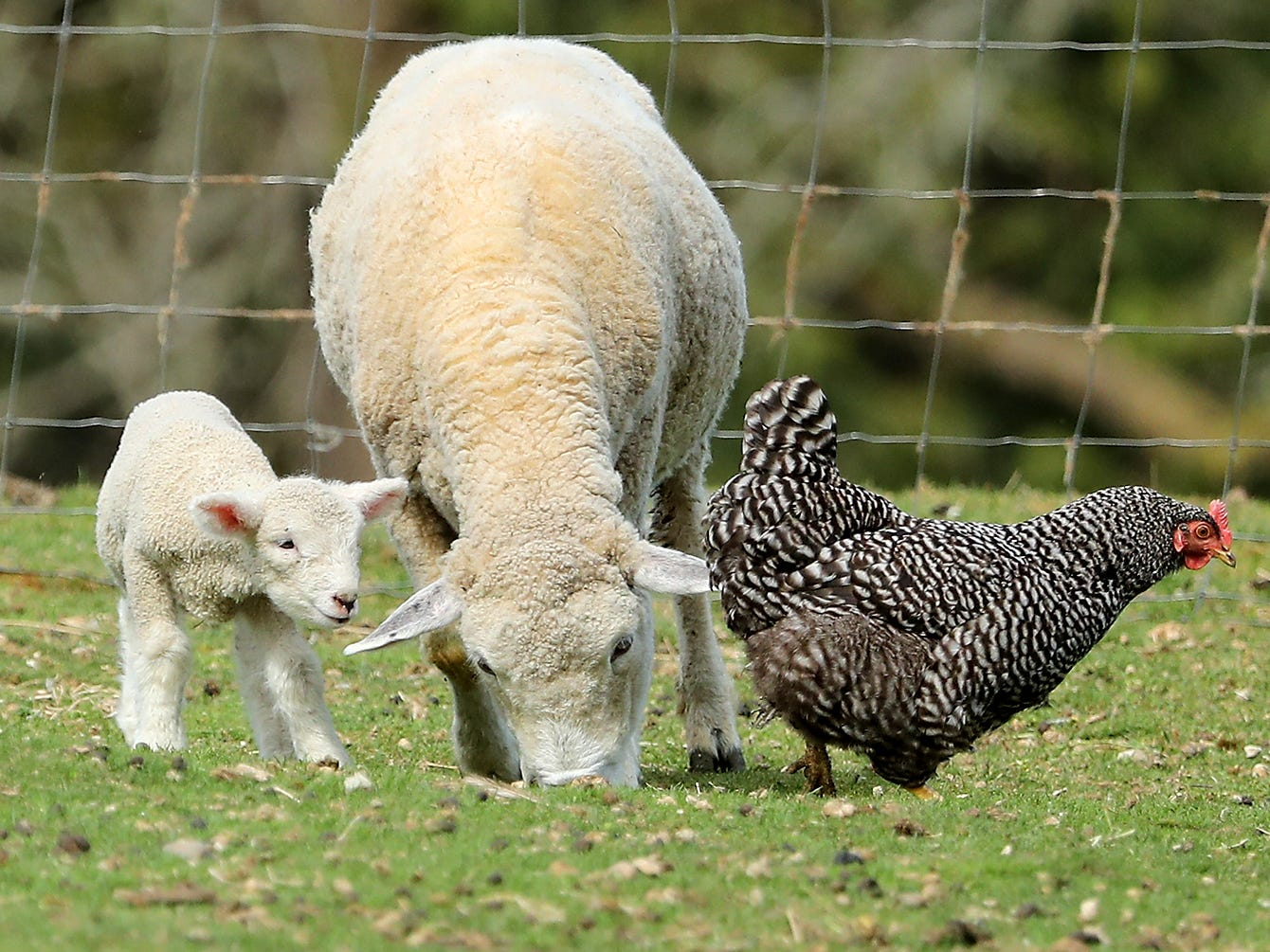 A pair of youngsters keep their eyes on a chicken passing by as they graze with their mother in the pasture at Scandia Creek Farm in Poulsbo on Friday, March 22, 2019.