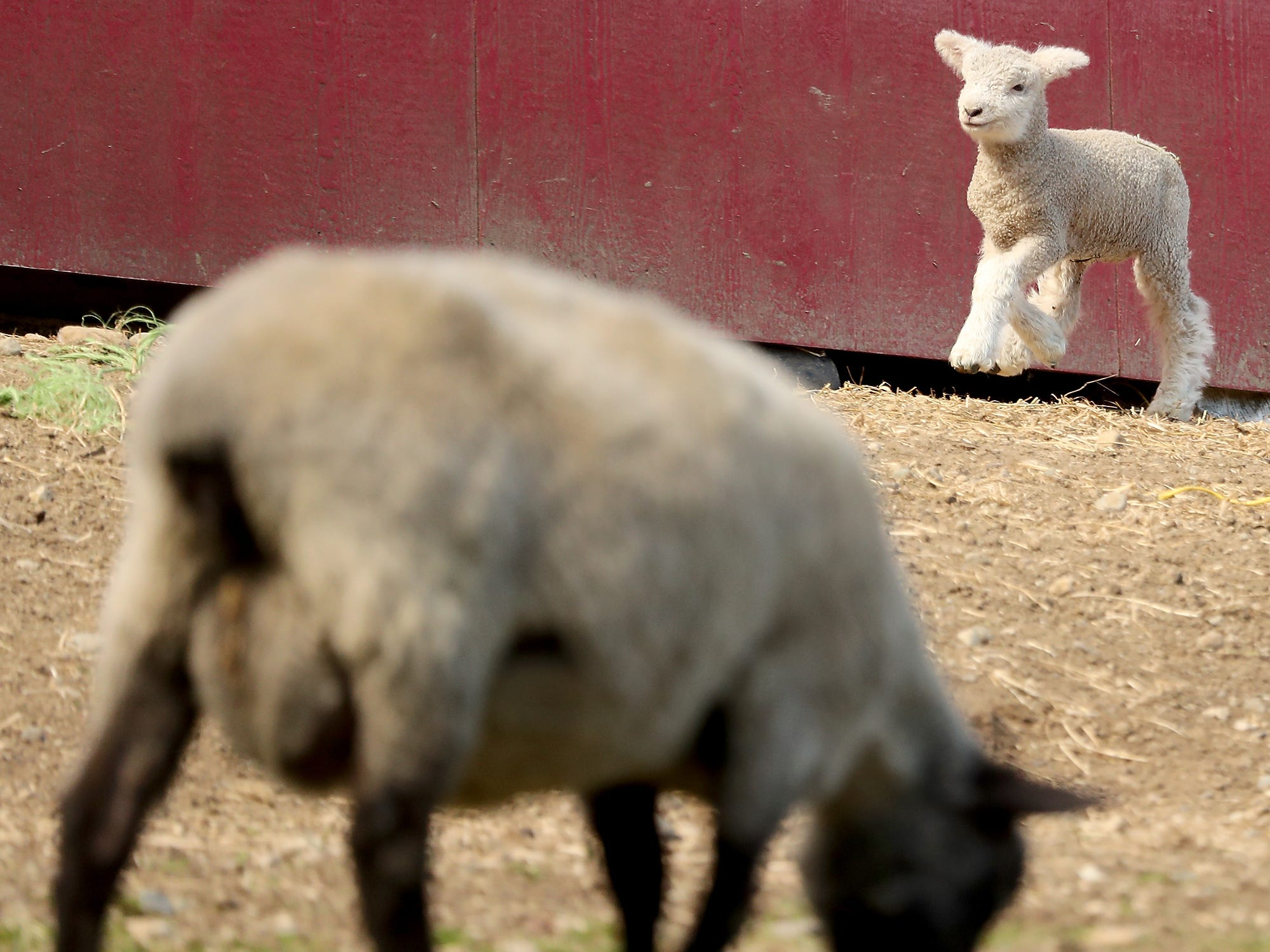 Lambs frolic in their pasture at Scandia Creek Farm in Pouslbo on March 22, 2019.