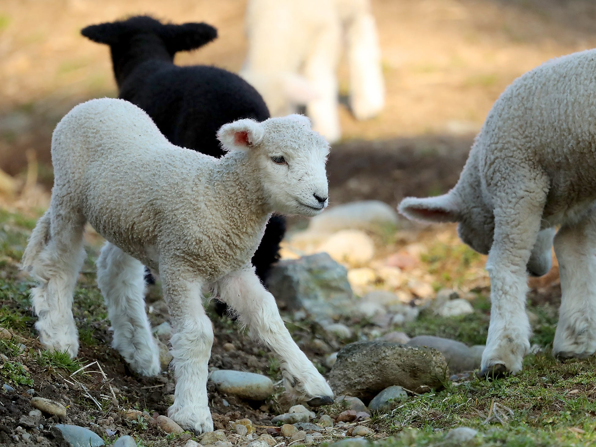 Lambs frolic in their pasture at Scandia Creek Farm in Pouslbo on March 18, 2019.