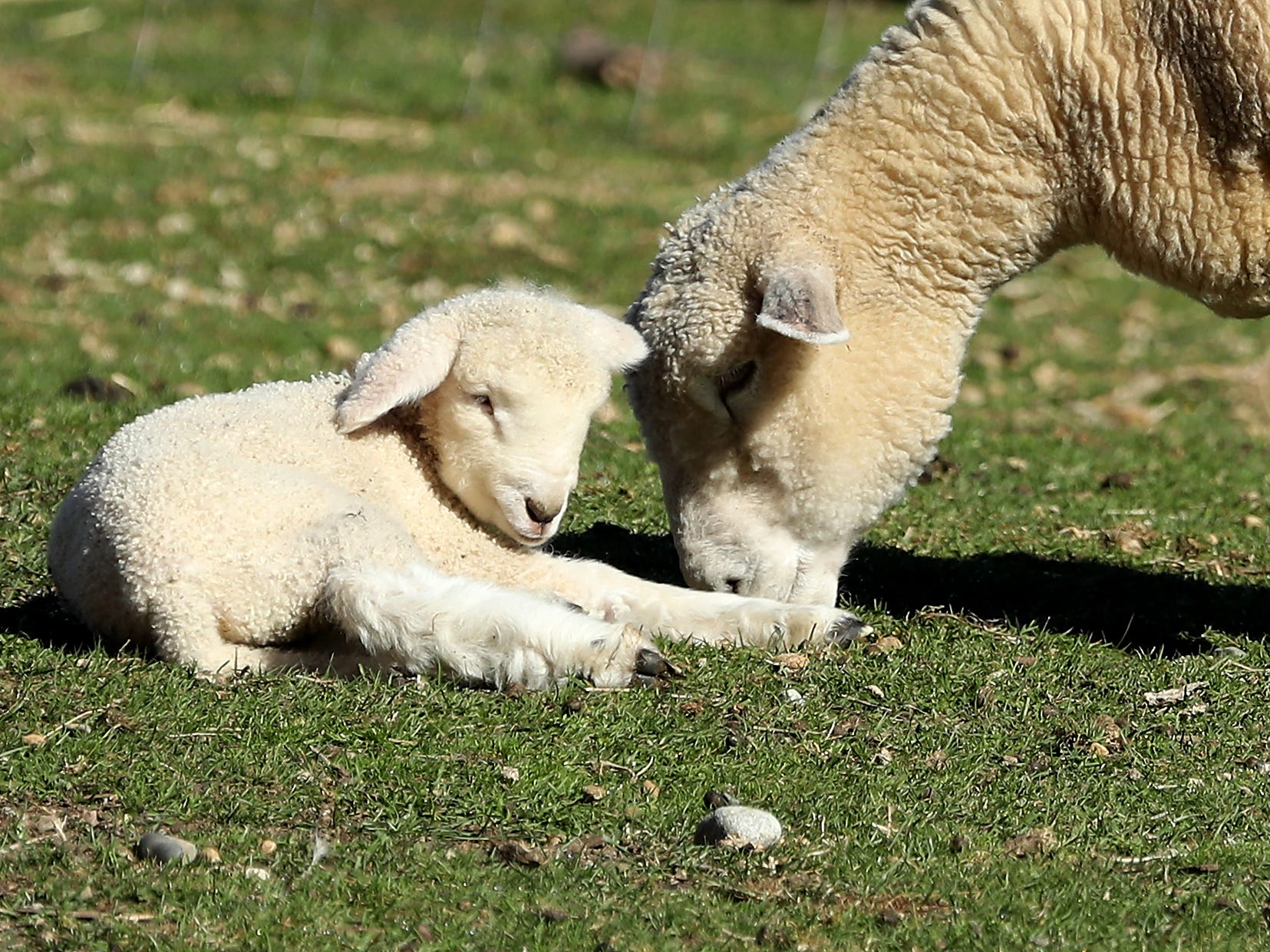 Lambs frolic in their pasture at Scandia Creek Farm in Pouslbo on March 19, 2019.
