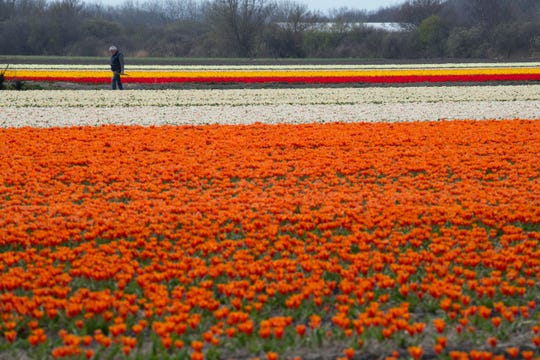 A farmer checks for bad weeds in a flower bulb field in Noorwijkerhout, near Lisse, Netherlands, Wednesday, March 27, 2019.