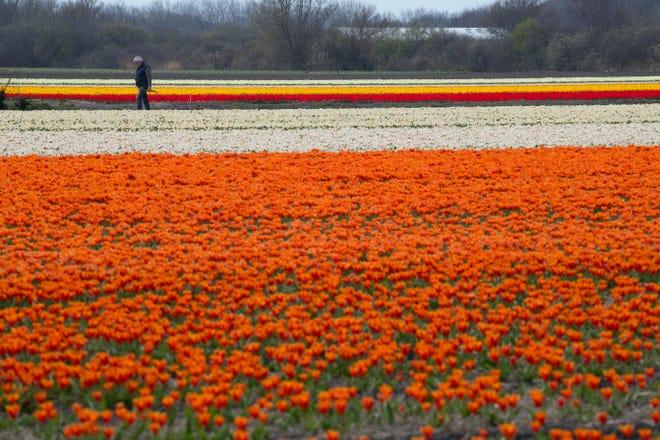 A farmer checks for bad weeds in a flower bulb field in Noorwijkerhout, near Lisse, Netherlands, Wednesday, March 27, 2019.
