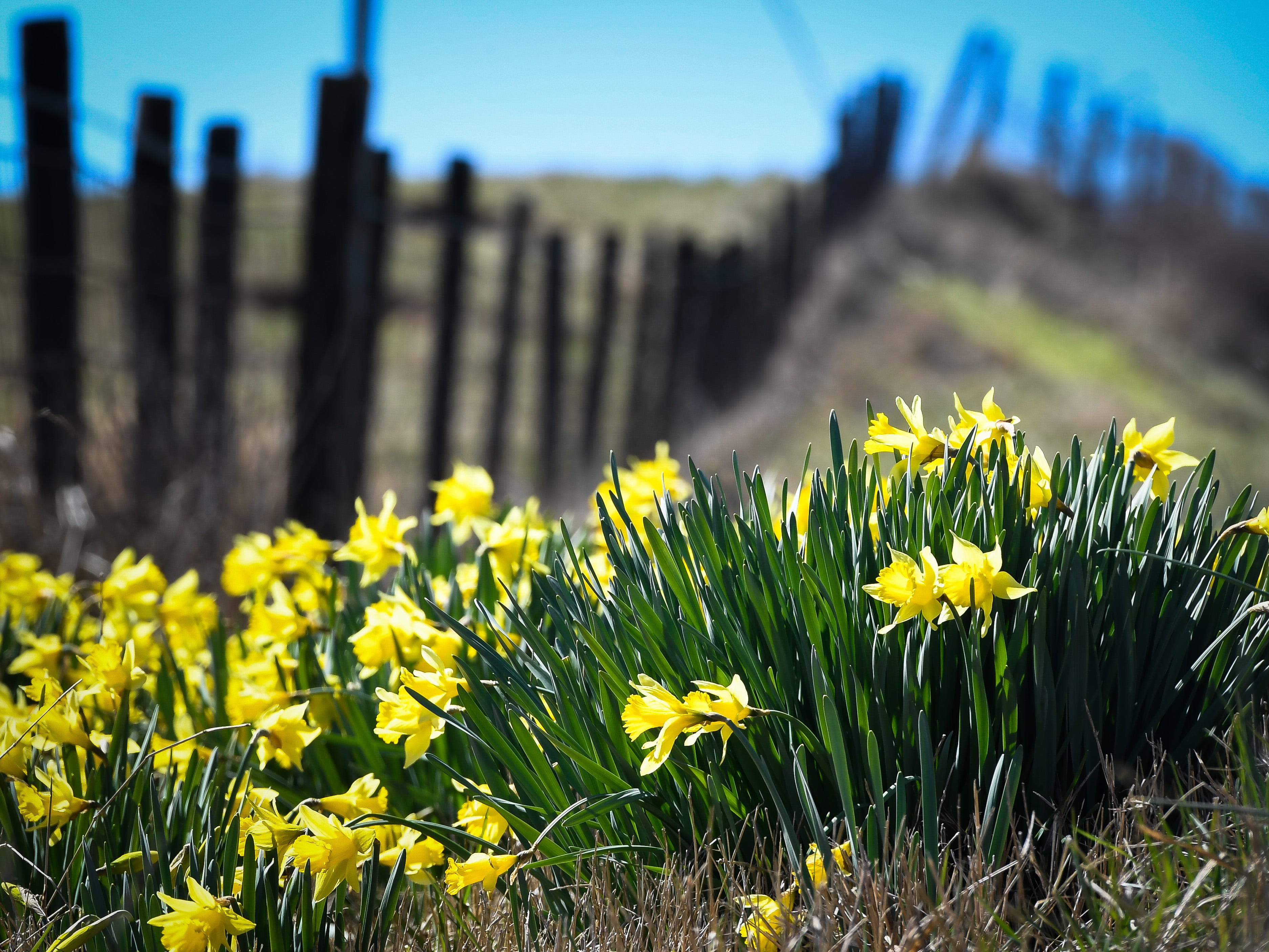 A sure sign that spring is almost here, blooming daffodils along country roads, in this case Hwy 812 in Henderson County Tuesday, March 26, 2019.