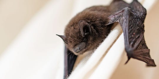 Bats are one of the top three most rabid animals in Vermont.