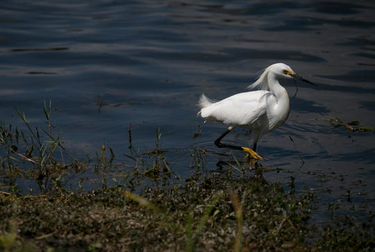 An egret hunts for food at HarnÕs Marsh in Lehigh Acres on Wednesday, March 27, 2019.