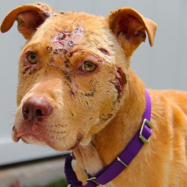 Shelter asks for help for severely injured dog, hopes to find abusers
