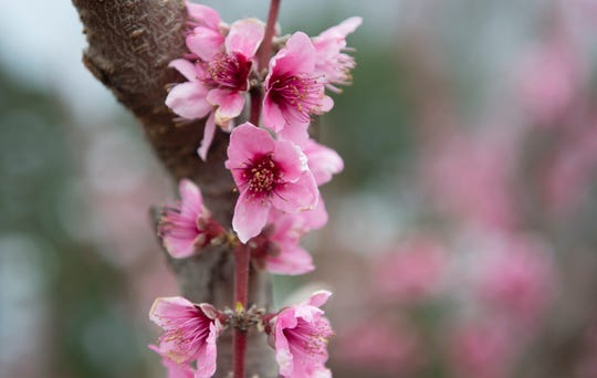 Many of the peach trees at Fishers Orchard are covered in blossoms Tuesday, Mar. 26, 2019.