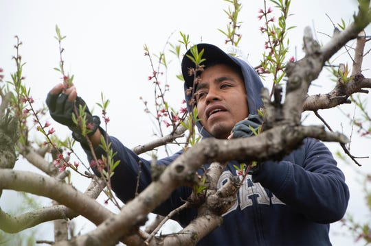 Salvador Martinez Cano works at Fishers Orchard Tuesday, Mar. 26, 2019.