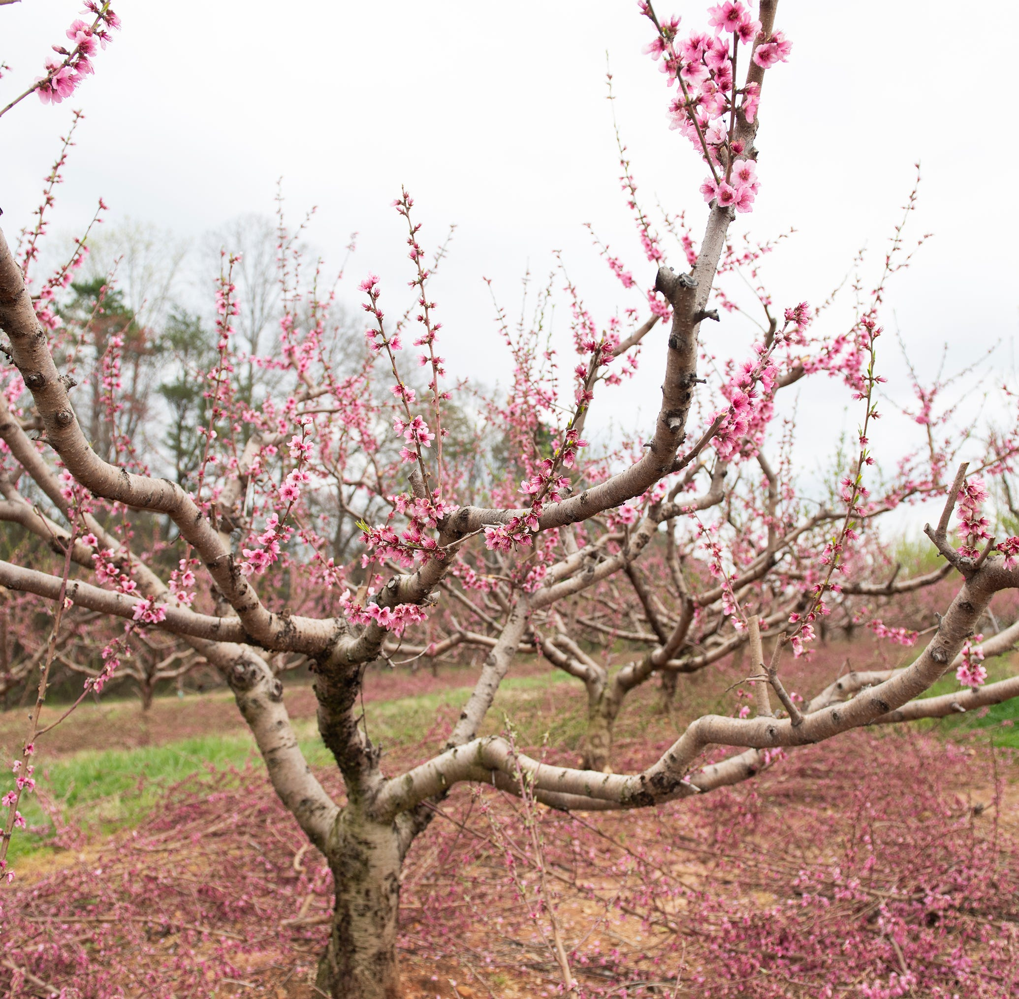 The outlook for the 2019 SC peach crop is downright peachy with a critical month ahead