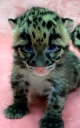 Janet and Jean, two endangered clouded leopard kittens, were born at the Naples Zoo on Feb. 22, 2018.