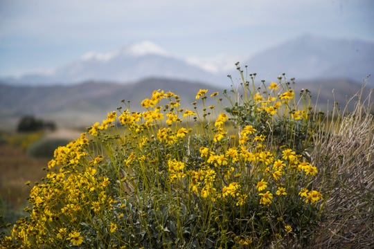 Yellow desert flowers can be seen on Worsley Road near Painted Hills Road in Desert Hot Springs. You can park on Worsley Road and view the San Bernardino mountains to the west.