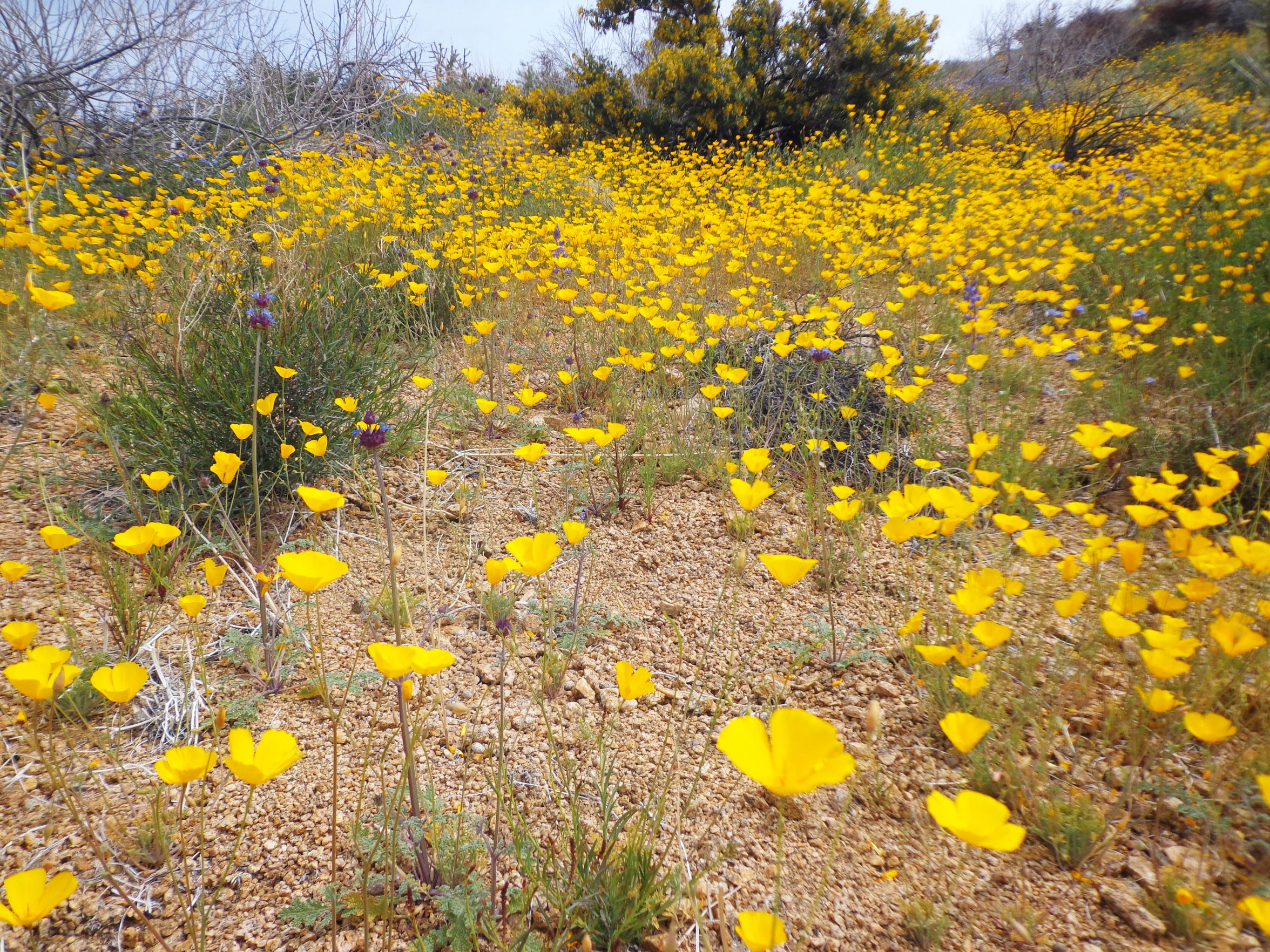 Porous sandy ground without competition shows how poppies are not fond of flat ground.