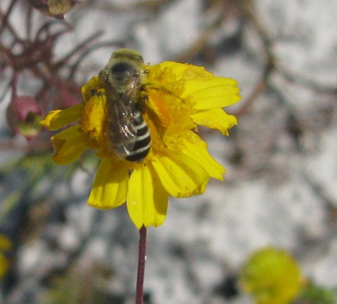 The Center for Biological Diversity has filed a petition with the Secretary of the Department of Interior to list the Gulf Coast solitary bee as endangered.