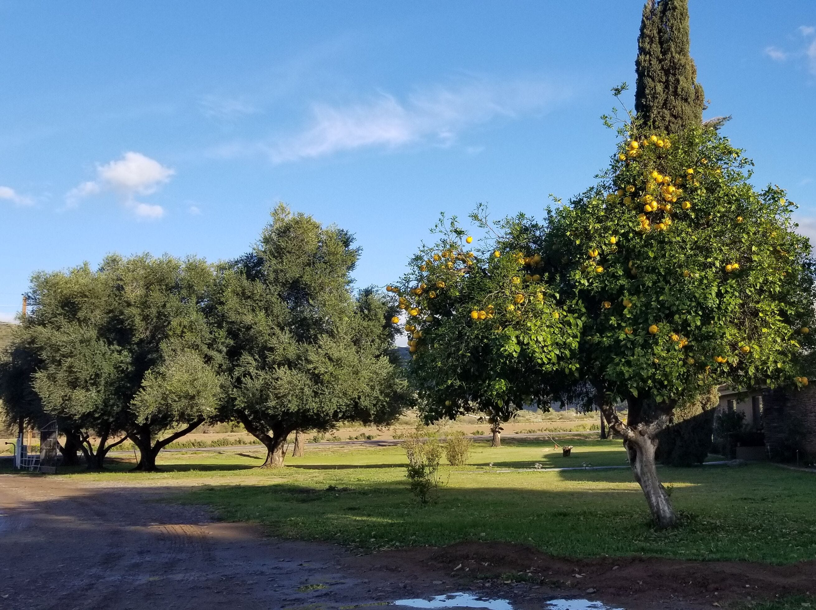 Citrus and other mature trees on the Laveen land owned by the Cheatham family for decades.
