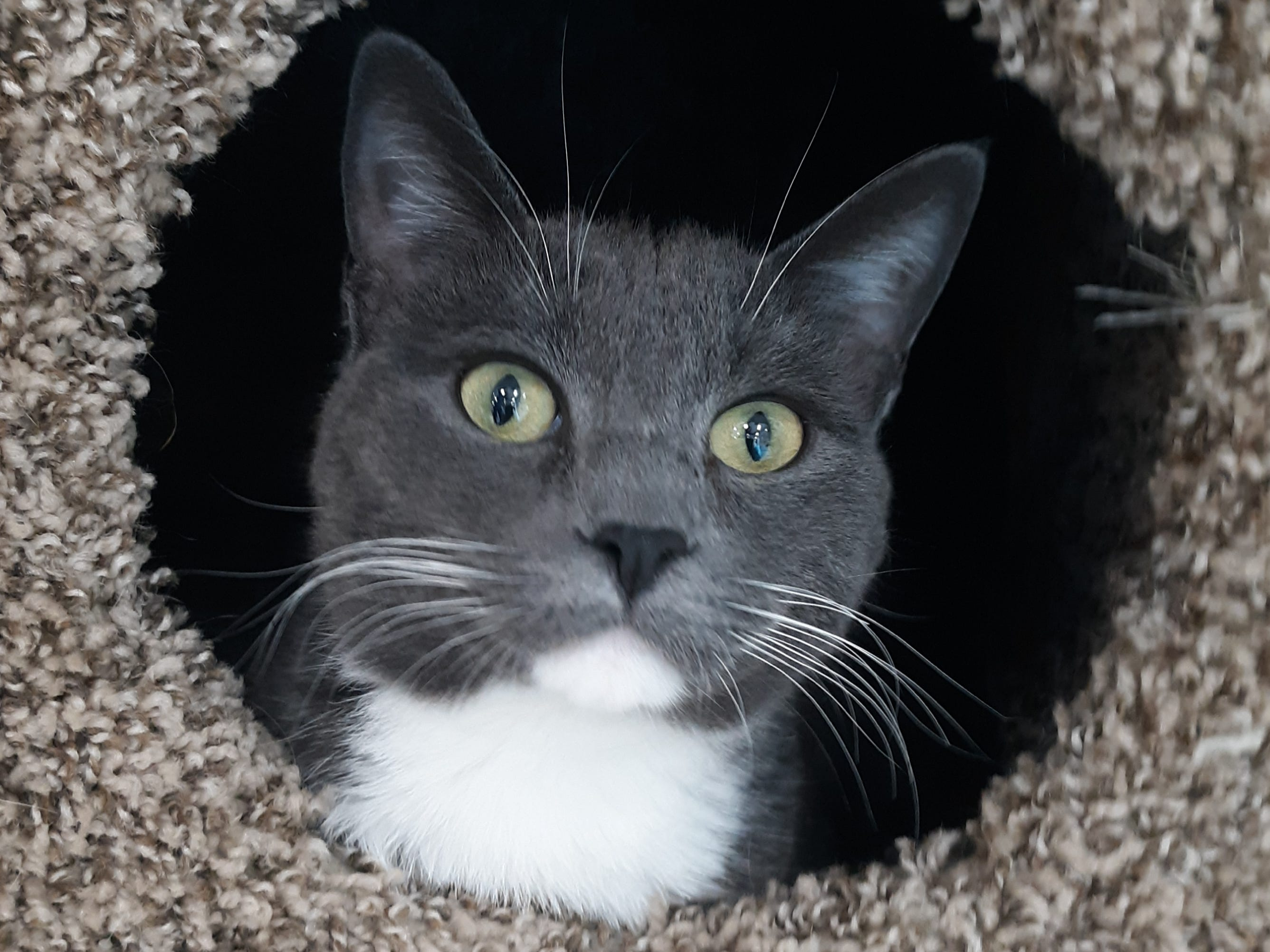 Grady is a male, 1-year-old, gray and white, domestic-shorthair cat. He's a big fellow. He's very sweet and playful. All animal adoptions include spaying or neutering and vaccinations. Apply with Another Chance Animal Welfare League at www.acawl.org. Call 515-0537.