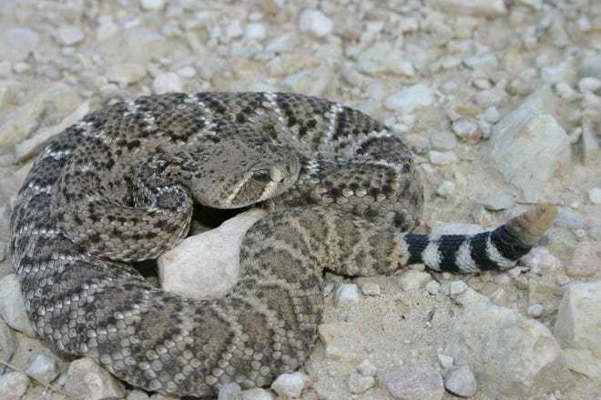 Adult western diamondbacks can achieve lengths of up to seven feet in length, although just like in humans, the average is much smaller than this.