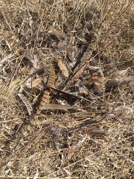 This pile of feathers shows the remains of a rooster pheasant killed by predators.