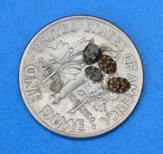 These varied carpet beetles were found in a window sill – and although small, in large concentrations, they can prove to be a problem when in a home.