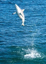 Watch out for flying sharks: This photo of a leaping spinner shark was taken Feb. 17 off Stuart Beach by Blair Wickstrom.