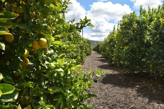 Experts fear that if huanglongbing gets established in Ventura County, it could devastate citrus orchards like this one near Santa Paula.